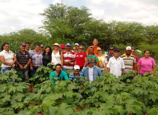 Plantações de algodão do Cariri são experiências em sistemas agroalimentares
