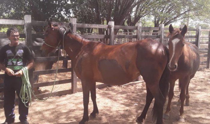 Prefeitura de Monteiro apreende animais soltos e proprietários terão que pagar multa