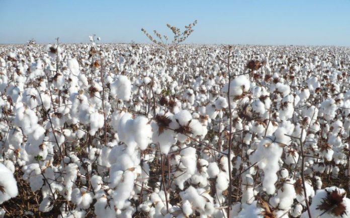 MONTEIRO: Prefeitura incentiva renascimento da cultura do algodão no município