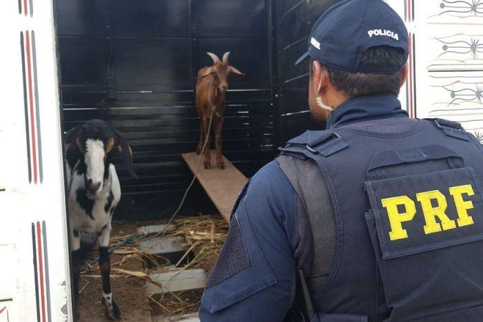 PRF apreende cocaína em fundo de caminhonete que transportava cabras