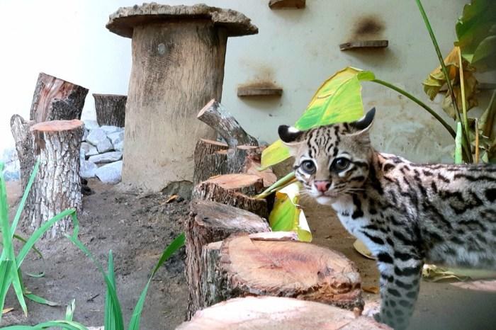 Filhotes de jaguatirica passam por adaptação no parque da Bica