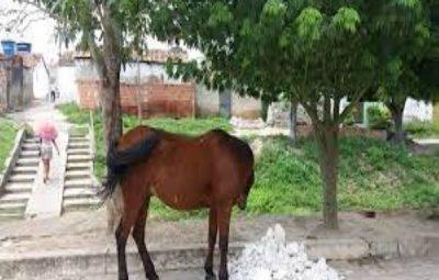 Prefeitura de Sumé apreende animais de médio e grande porte em vias públicas da cidade