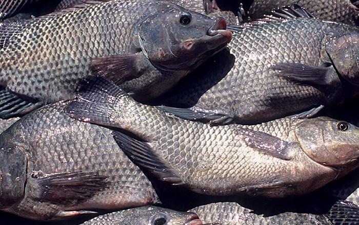 Criadores de tilápia de Sumé e Amparo formam associação de piscicultura