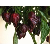 7 Pod Brown è un peperoncino simile al Trinidad Douglah ma a differenza di quest'ultimo ha dimensioni più grandi ed una pelle più liscia. …
