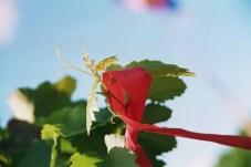 Grapes for Wine, Burgenland, 2006