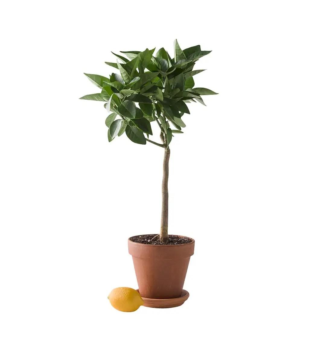miniature potted citrus tree lemon