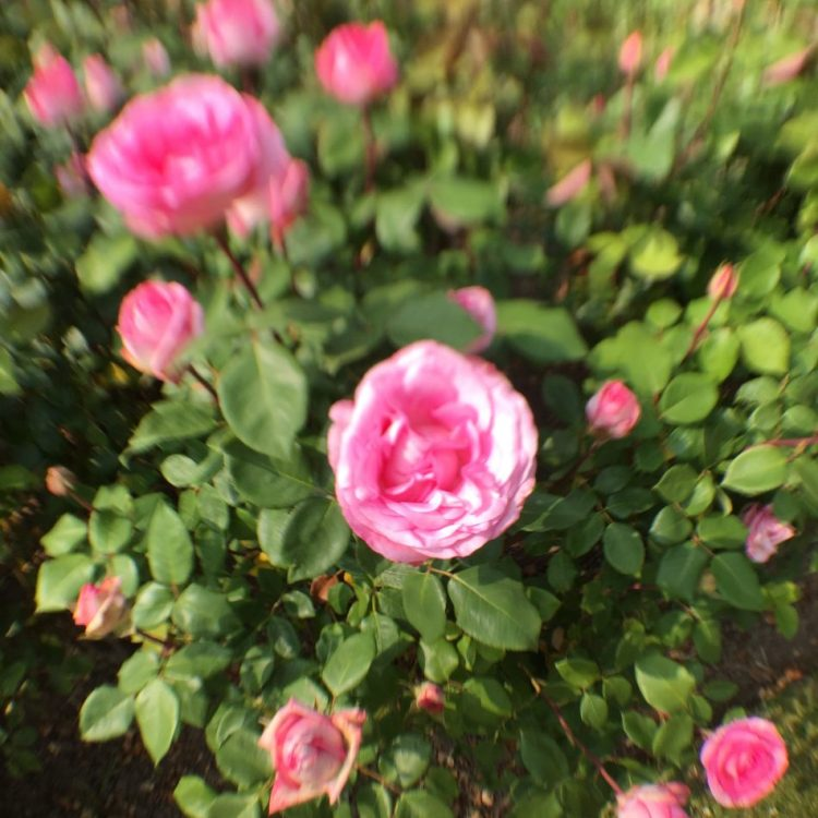 rose-with-blurred-effect