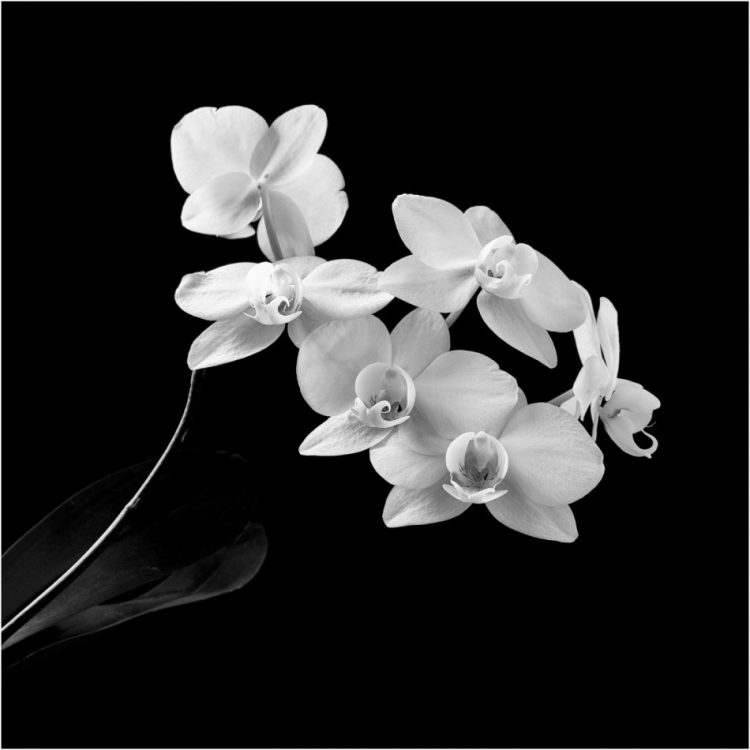 Orchid shot in monochrome, in the style of Robert Mapplethorpe