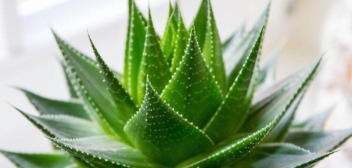 Aloe Vera - proprietà, benefici, usi e controindicazioni. Scopri le proprietà dell'aloe vera gel, i benefici per la salute, tutti gli usi, le controindicazioni e gli effetti collaterali.