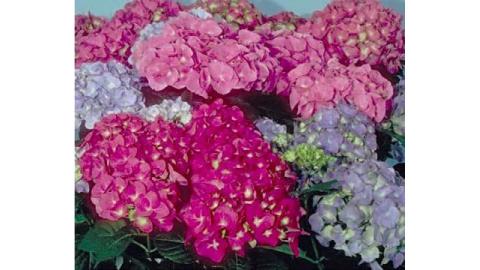 Vivereverde Ortensia Come Coltivarla In Giardino O In Vaso