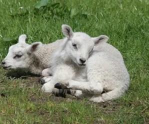 Diminuisce il consumo di carne di agnello a Pasqua