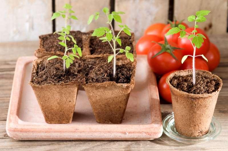 huerto-en-casa-te enseñamos-como-plantar-jitomates-paso-a-paso 30/04/20