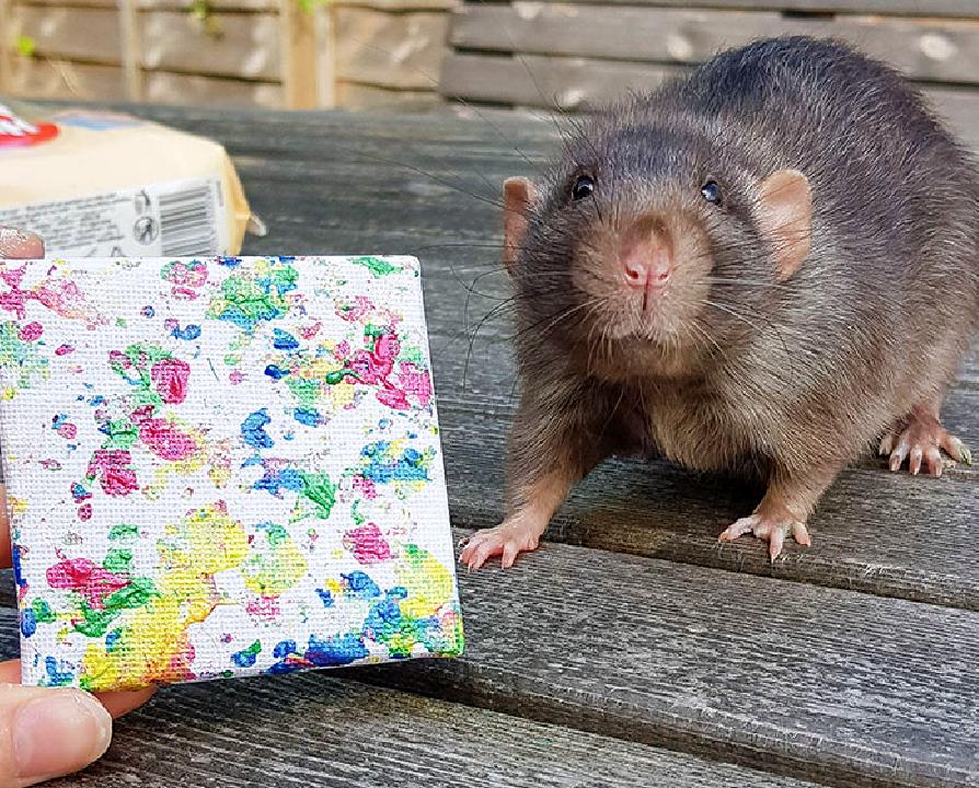 Adorables-ratas-realizan-verdaderas-obras-de-arte-con -pintura-en-lienzo 13/05/20