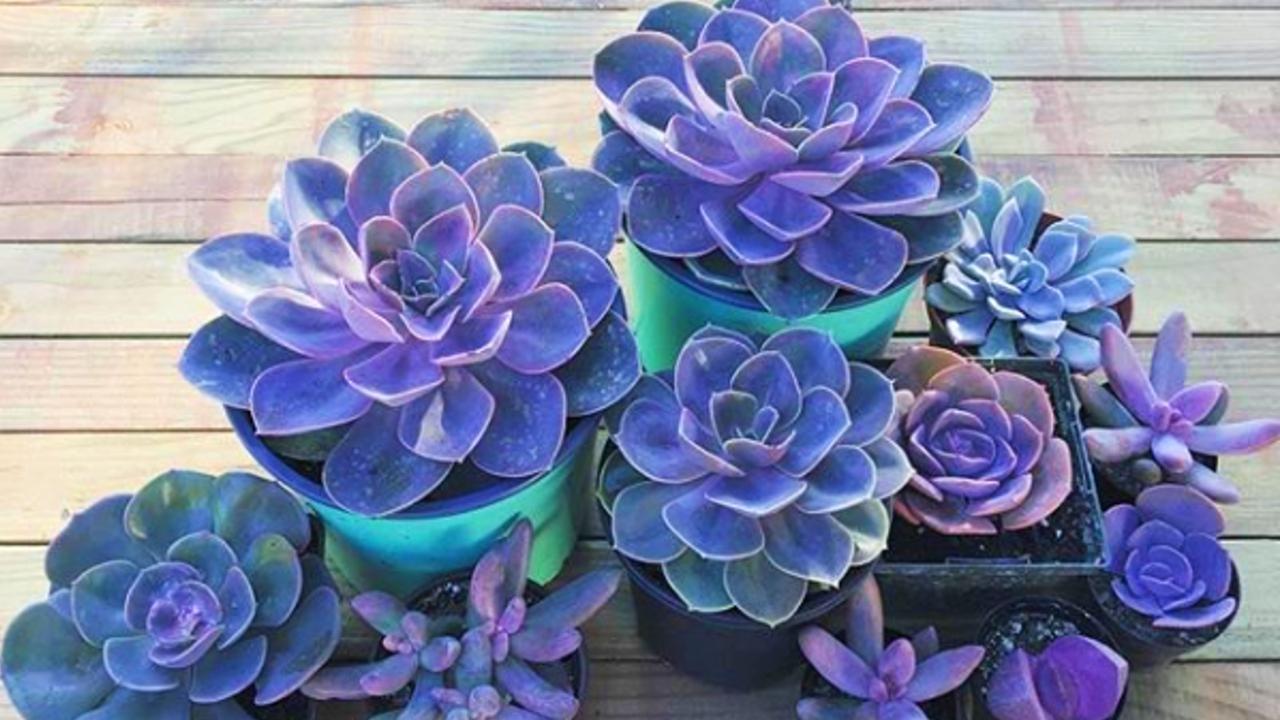 Si-amas-la-suculentas-espera-a-verlas-en-color-morado-Son-hermosas 02/06/20