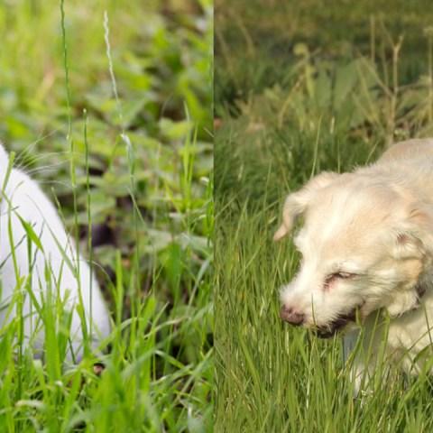 ¿Sabes por qué tu gato o tu perro come pasto? No es para purgarse 04/08/20