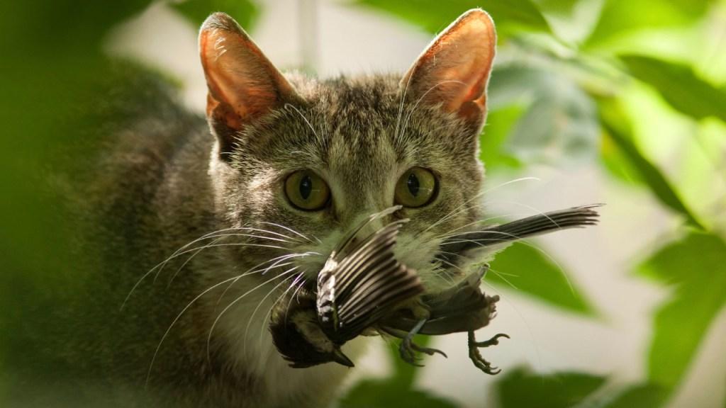 Conoce por qué tu gato te lleva animales muertos a la casa 17/08/20