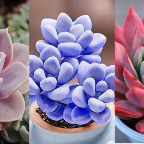 como cambiar color a las suculentas rojas rosas azules