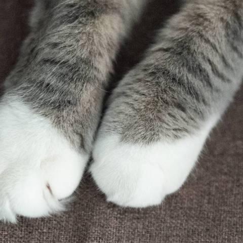 pataitas gato