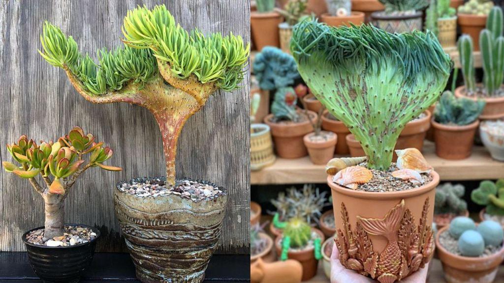 suculenta cola sirena planta especie cuidados