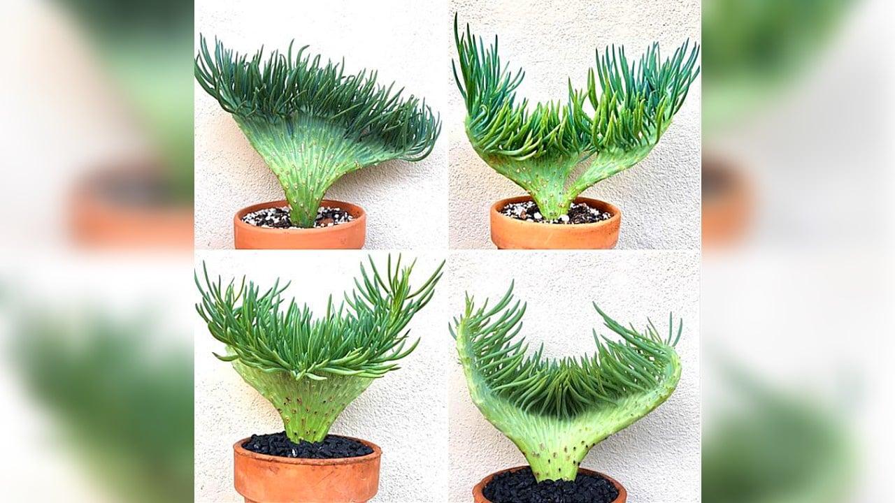 suculenta cola de sirena plantas especie cuidados