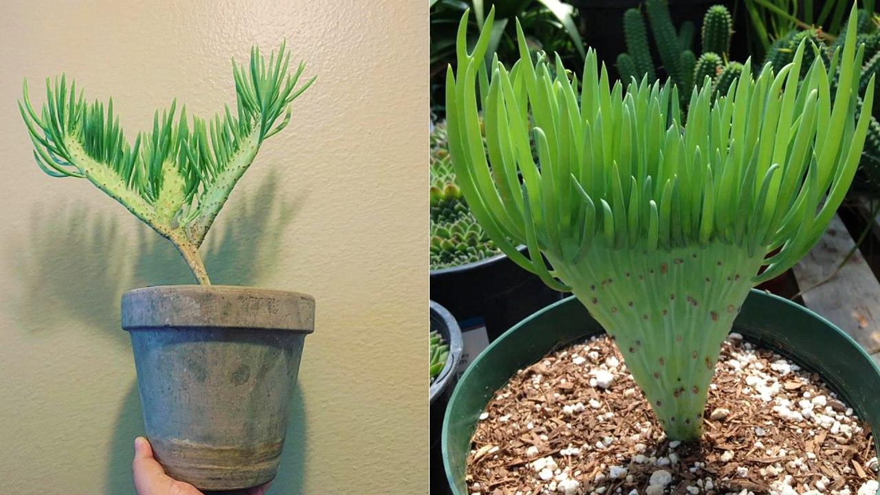 suculenta cola de sirena especie de planta sudafricana cuidados