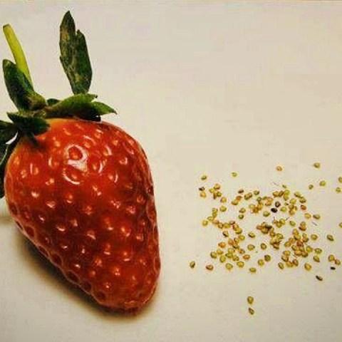 semillas de la fresa cómo sacarlas germinarlas en casa