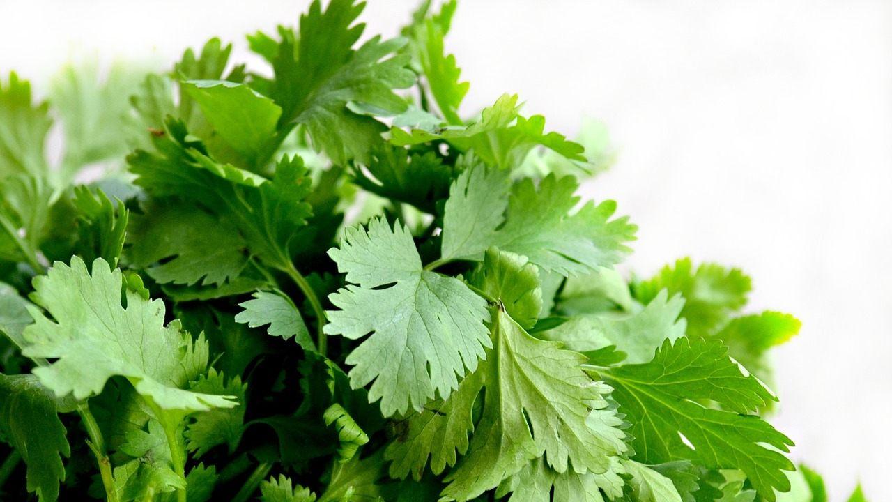 como sembrar cilantro en casa huerto casero