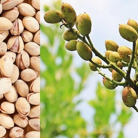 cómo cultivar germinar pistaches frutos secos panta