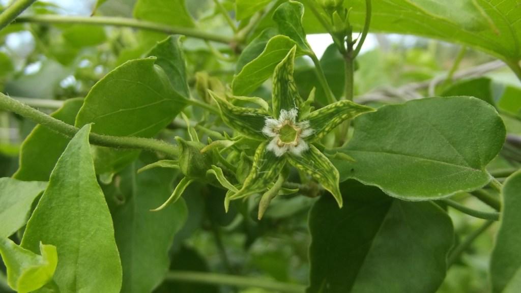 descubren nueva especie de planta mexicana