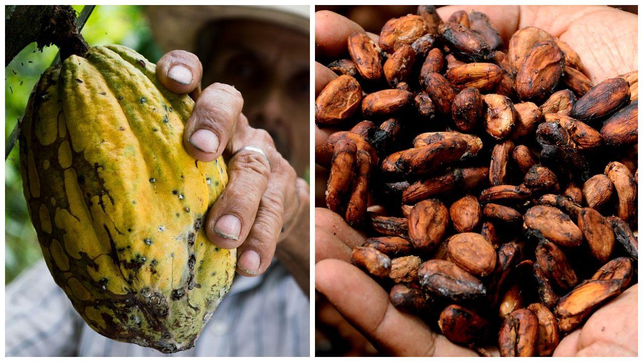 semillas de cacao que es beneficios cocoa