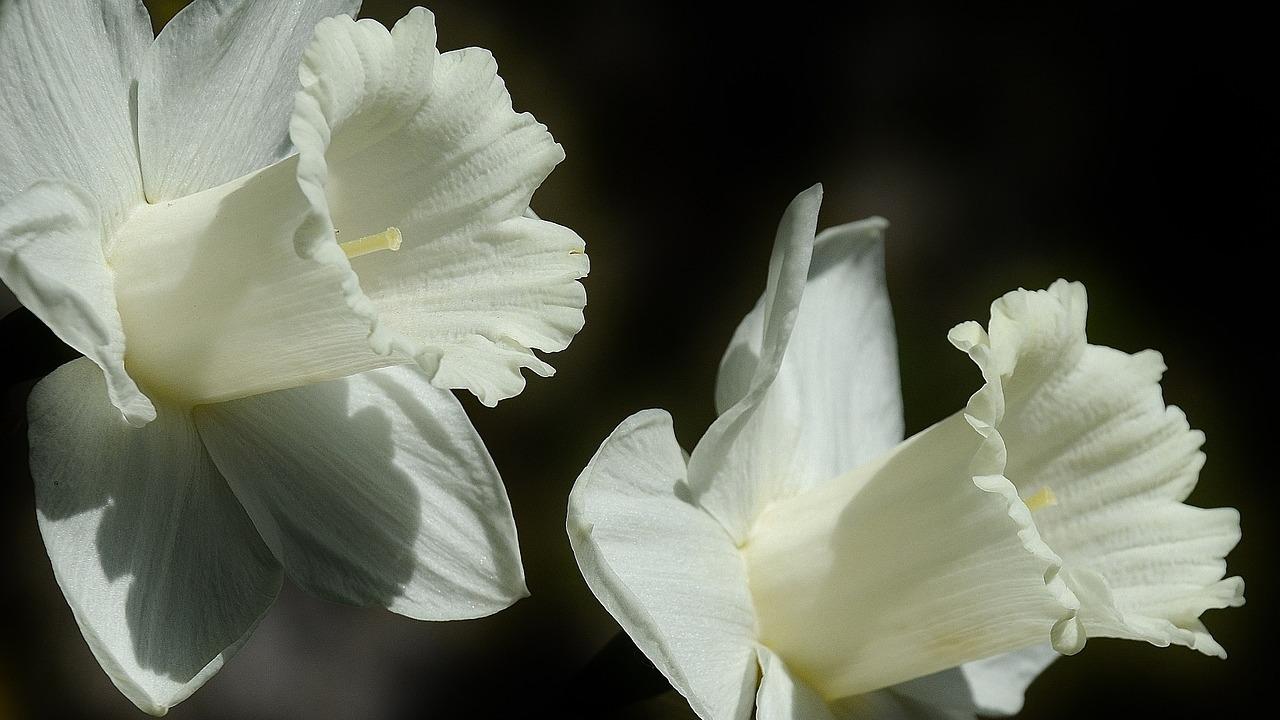 narcisos blancos flores aromáticas para perfumar