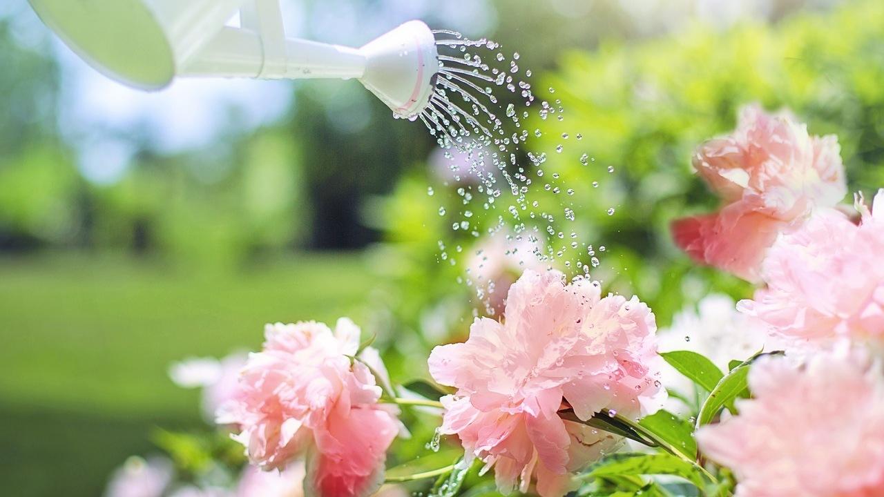 cómo cultivar peonías flores riego cuidados