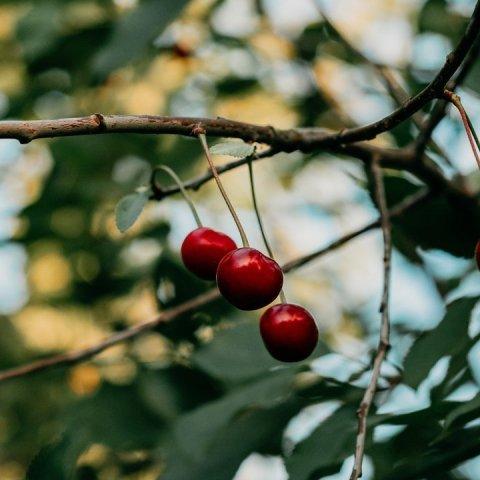 como cultivar cerezas en maceta