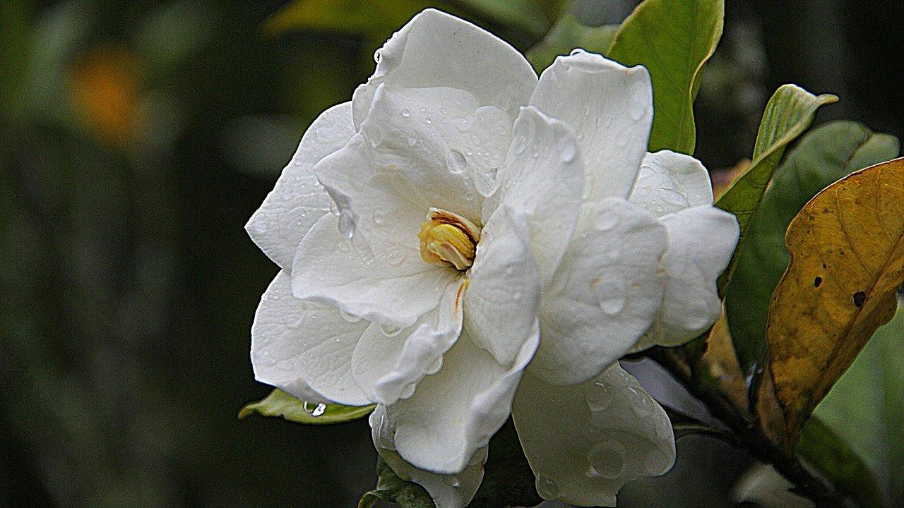 gardenias cómo cultivarlas en macetas cuáles son sus cuidados