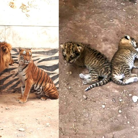 nacen ligres zoologico bebés animales