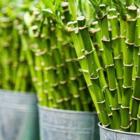 tips para cuidado de bambú de la suerte