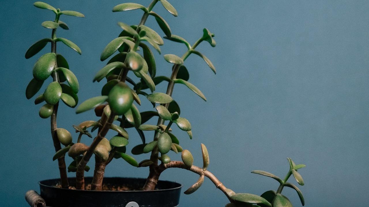 tres cuidados básicos del árbol de jade