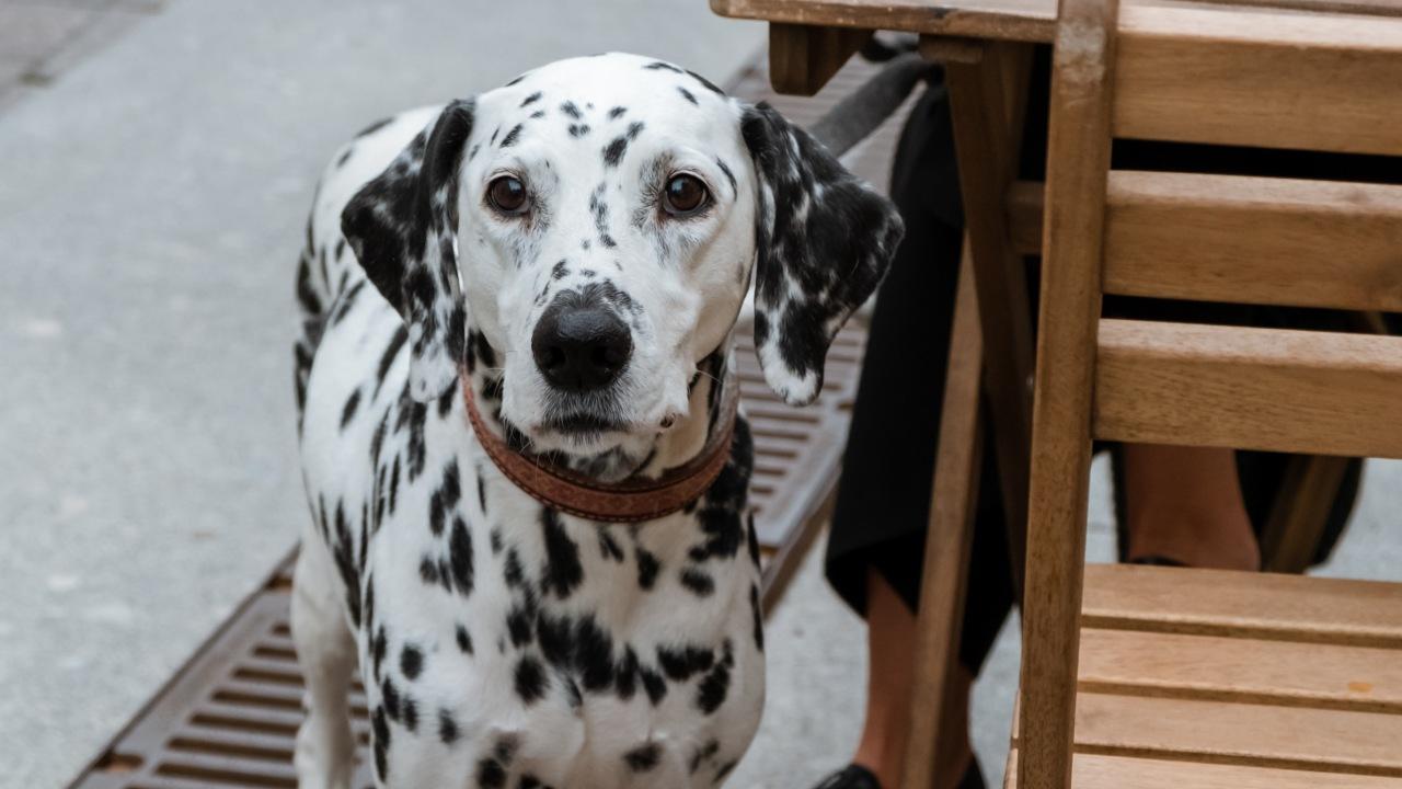 razas de perros con sordera