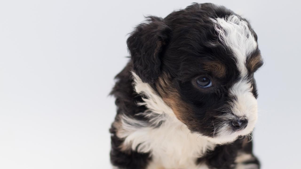 por que tiemblan perros en adopcion