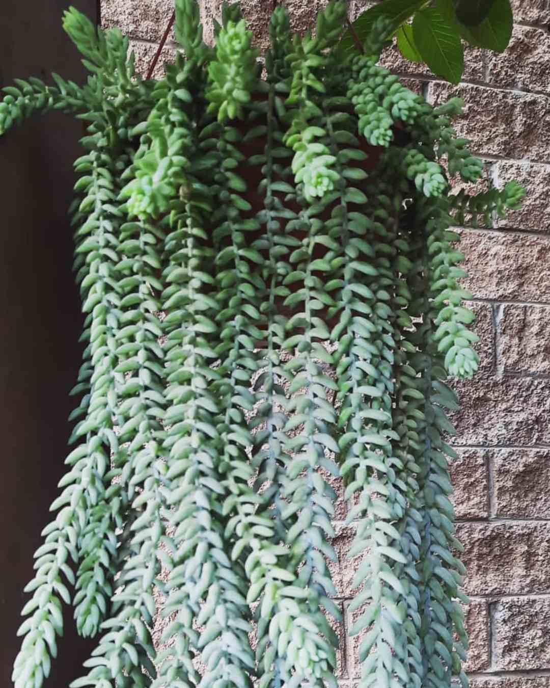 plantas de sol para colgar suculentas