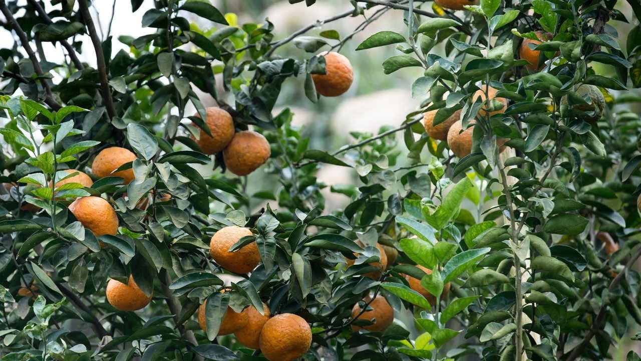 árbol de mandarina enano