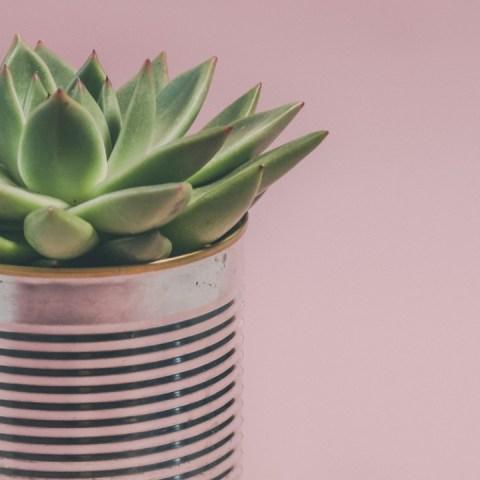 errores que cometes al cuidar plantas suculentas