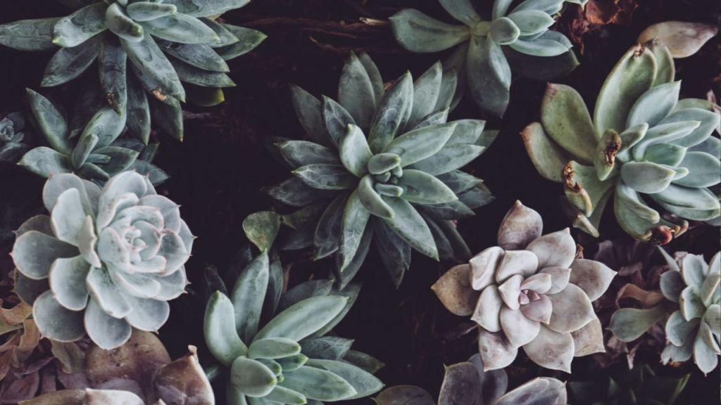 cómo se llama la capa blanca de las plantas suculentas