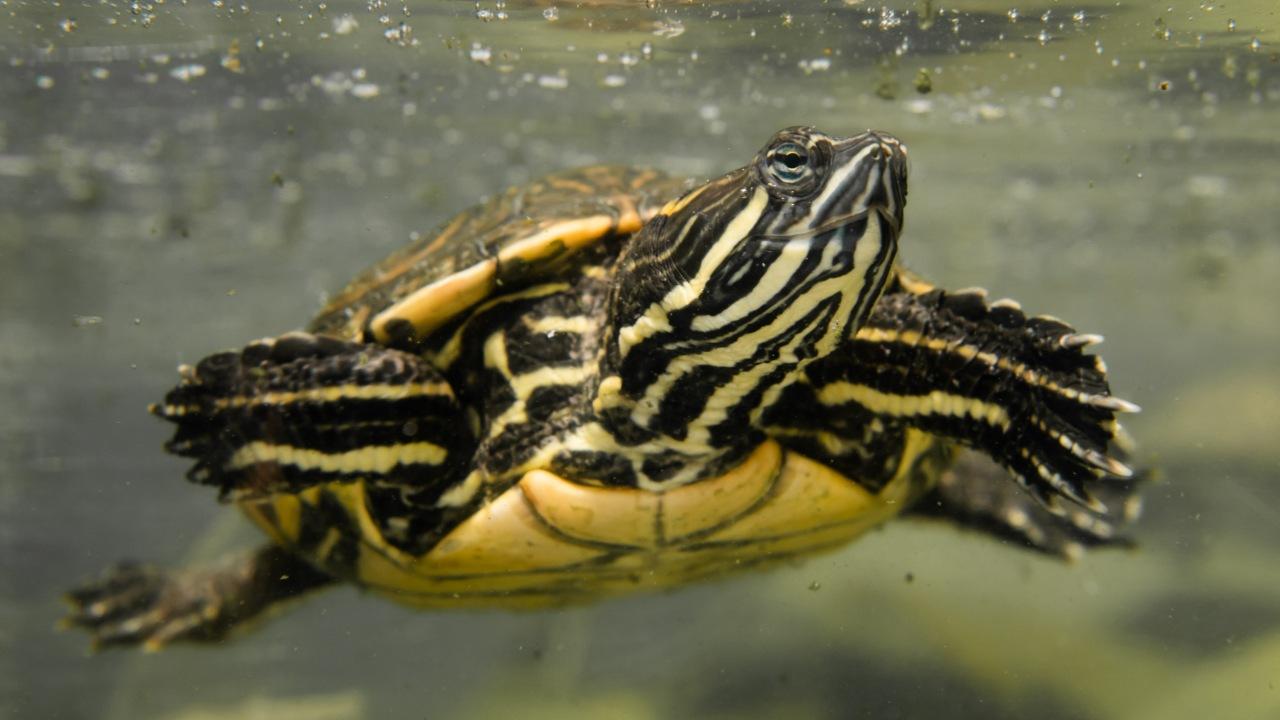 Tipo de alimento que comen las tortugas de agua