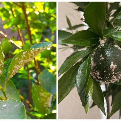 plantas que padecen cochinilla algodonosa como eliminarla
