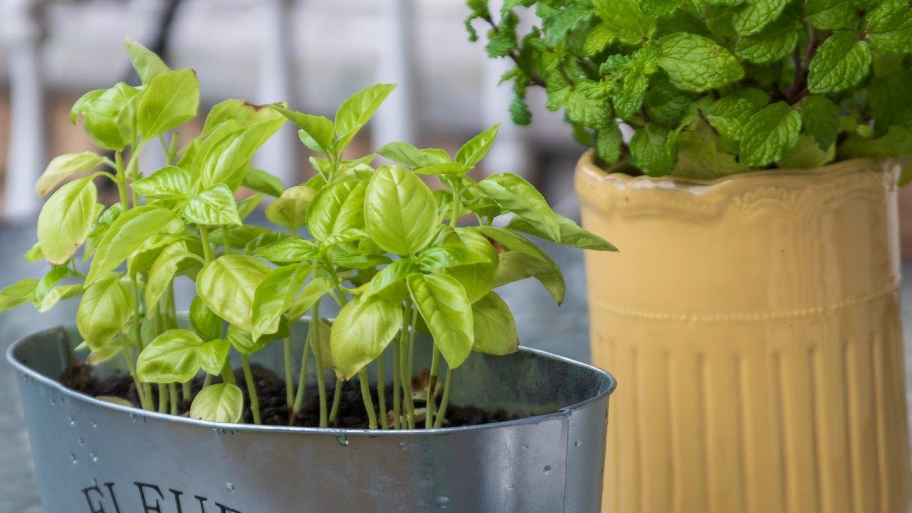 plantas para favorecer los pulmones