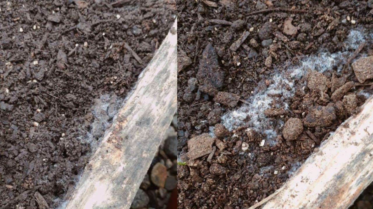 Síntomas de moho blanco en tus plantas
