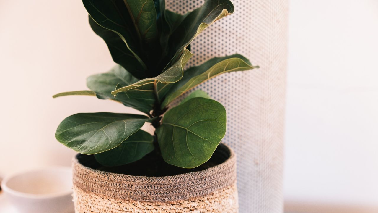 Ficus Lira para tu hogar