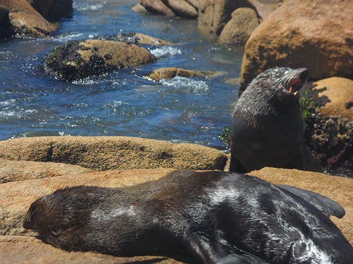 Leones marinos en libertad en Cabo Polonio