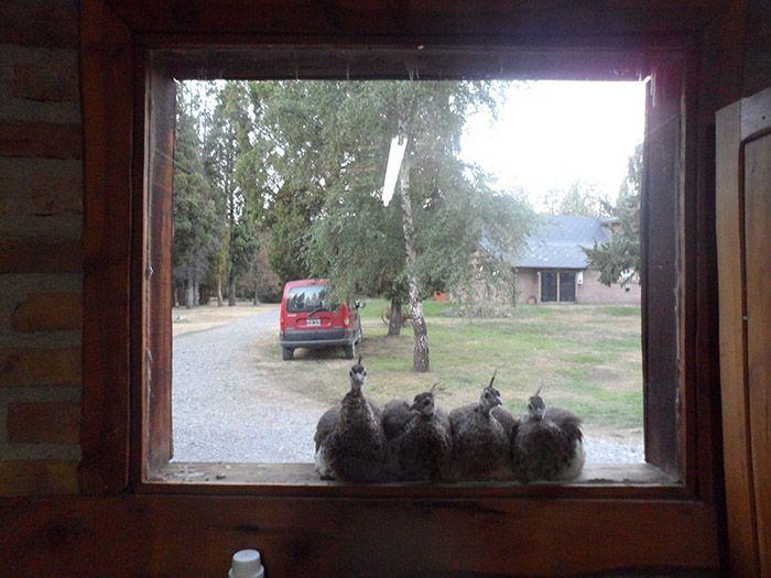 Aquí tenéis a los cuatro pichones en nuestra ventana